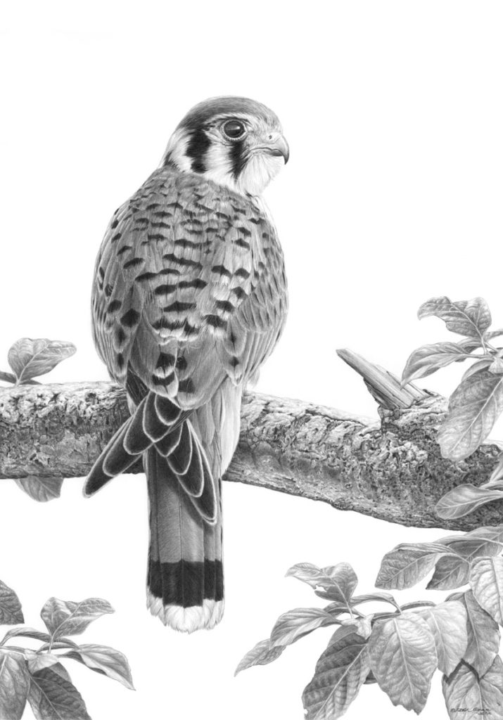 Original pencil drawing of a American Kestrel by Patrick Gnan.