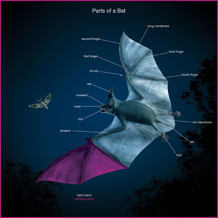 Bat_700px