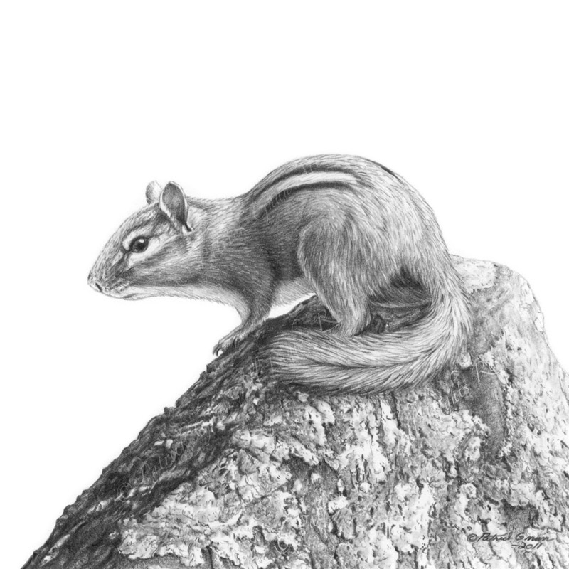 Original pencil drawing of a Chipmunk by Patrick Gnan.