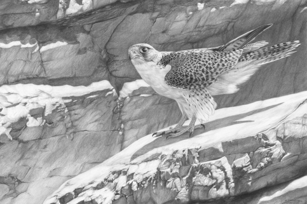 Original pencil drawing of a Gyr Falcon by Patrick Gnan.