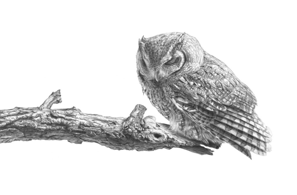 Original pencil drawing of a Screech Owl by Patrick Gnan.
