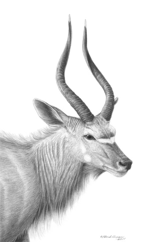 Original pencil drawing of a Kudu Antelope by Patrick Gnan.