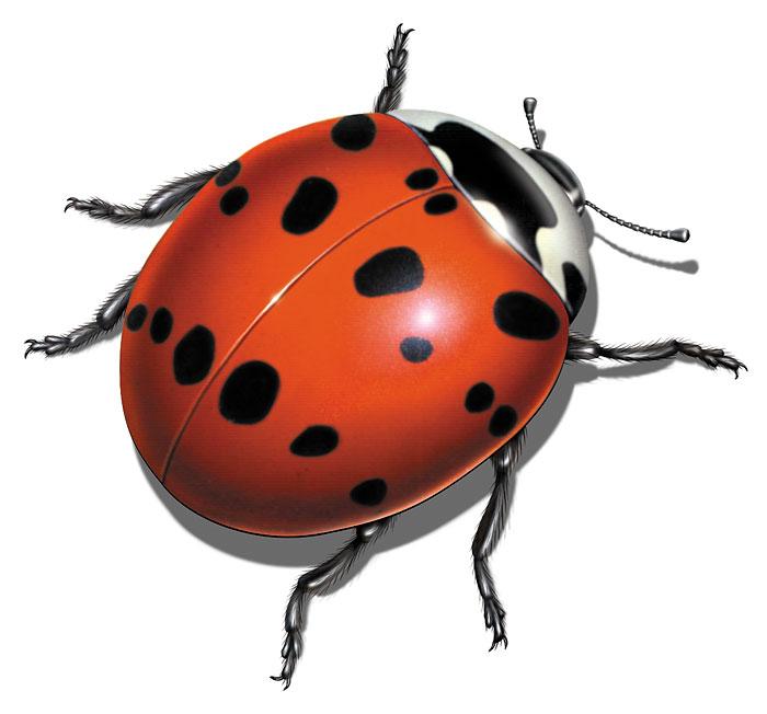 Ladybug_700px