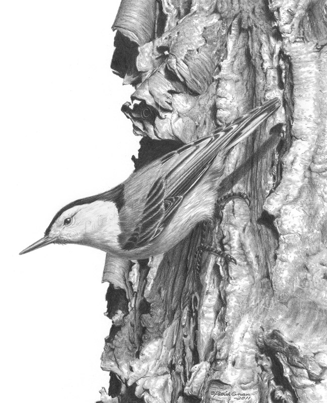 Original pencil drawing of a Nuthatch by Patrick Gnan.