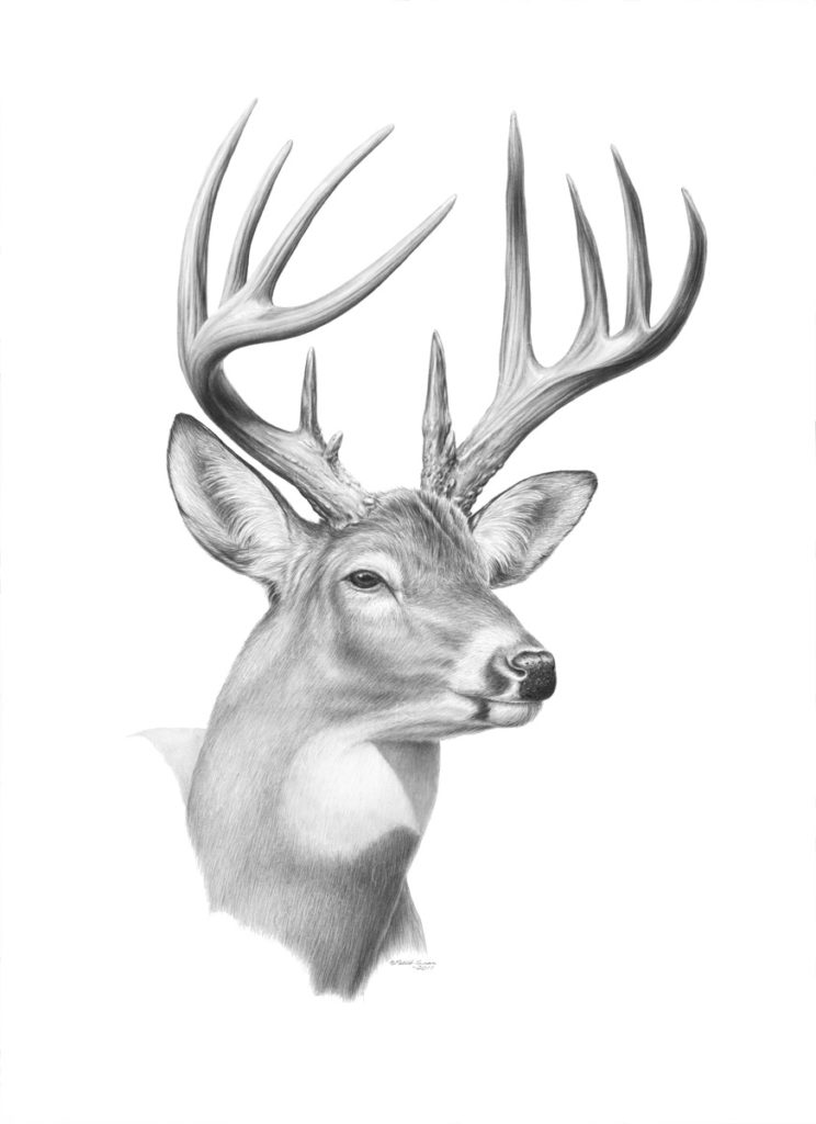 Original pencil drawing of a Buck by Patrick Gnan.