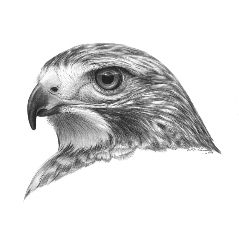 Giclée print of an original pencil drawing of a Red-Tailed Hawk by Patrick Gnan.