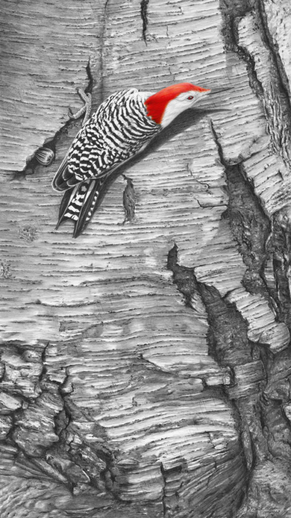 Original pencil/ink drawing of a Red Bellied Woodpecker by Patrick Gnan.