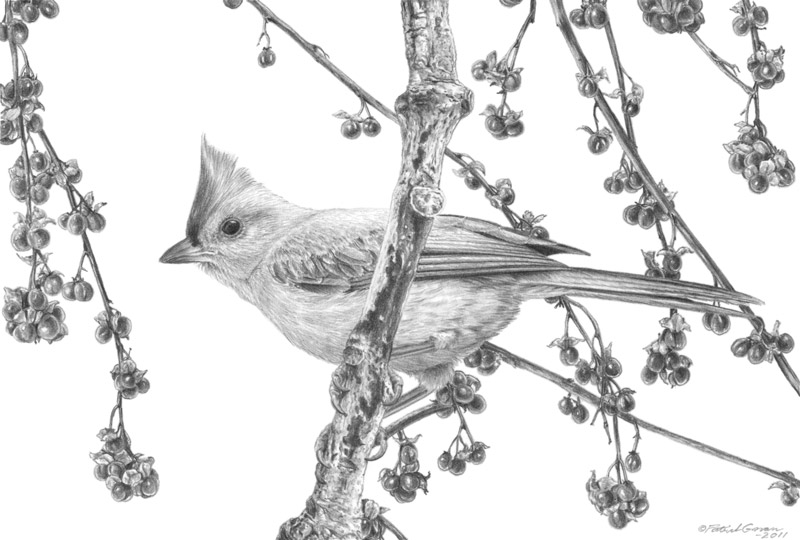 Original pencil drawing of a Tufted Titmouse by Patrick Gnan.