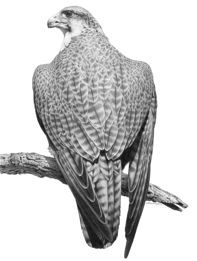 Original pencil drawing of a Hybrid Falcon by Patrick Gnan.