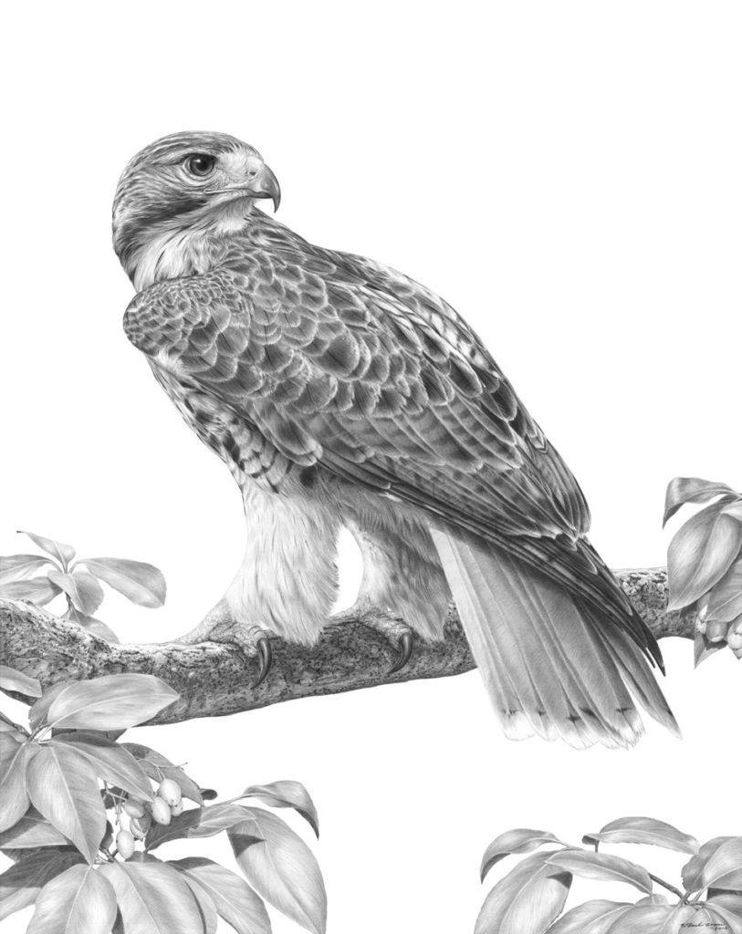 Original pencil drawing of a Red-Tailed Hawk by Patrick Gnan.