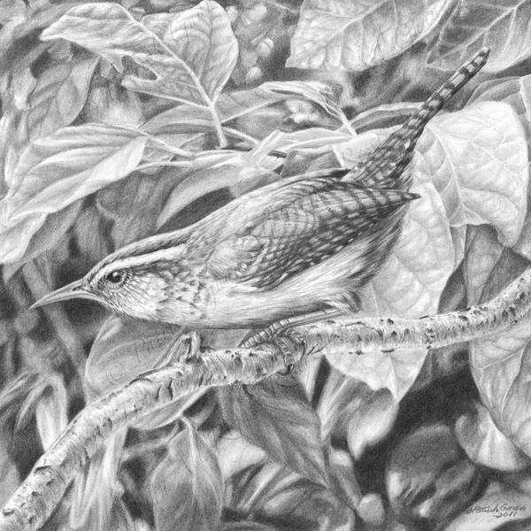 Original pencil drawing of a Wren by Patrick Gnan.