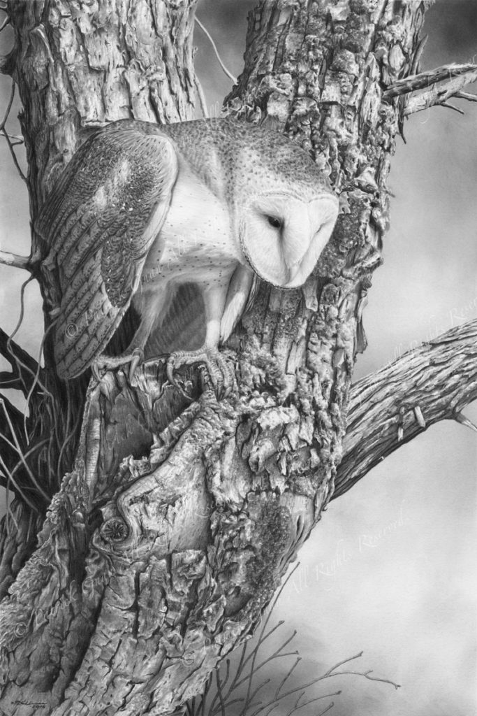 Original pencil drawing of a Barn Owl by Patrick Gnan.