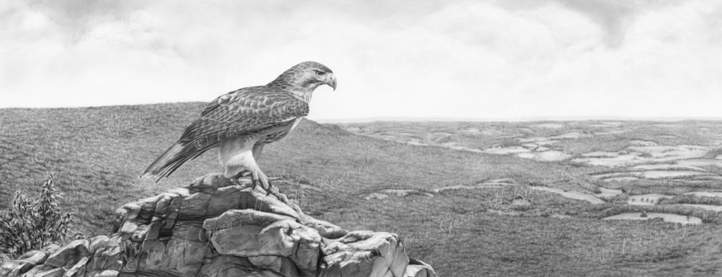 Original pencil drawing of a Red-Tailed Hawk at Hawk Mountain by Patrick Gnan.