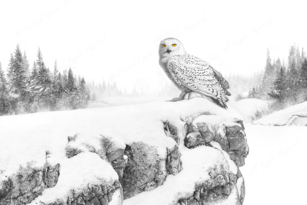 Original pencil and ink drawing of a Snowy Owl by Patrick Gnan.