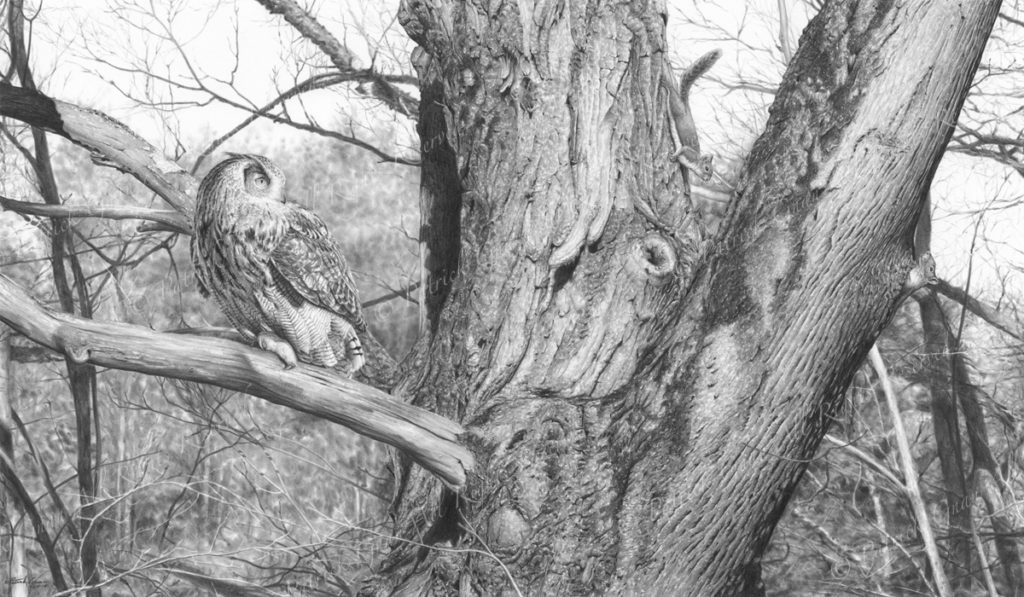 Original pencil drawing of an Eagle Owl and two squirrels by Patrick Gnan.